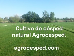 Cultivo de césped natural